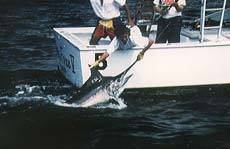 Marlin Release off the Pacific Coast of Costa Rica