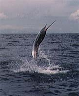Pacific Sailfish - Offshore Sportsfishing Costa Rica