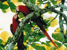 Scarlet Macaws at Golfo Dulce Lodge